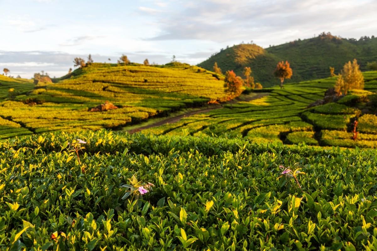 Zdjęcia: Ciwidey, Jawa, ., INDONEZJA