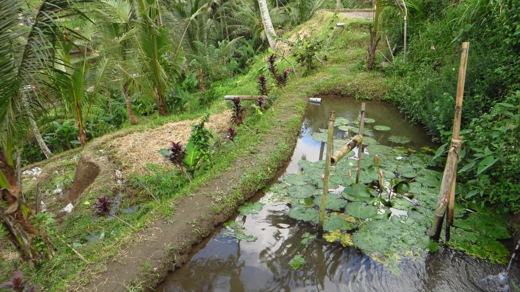 Zdjęcia: Ubud, Bali, pola ryżowe, INDONEZJA