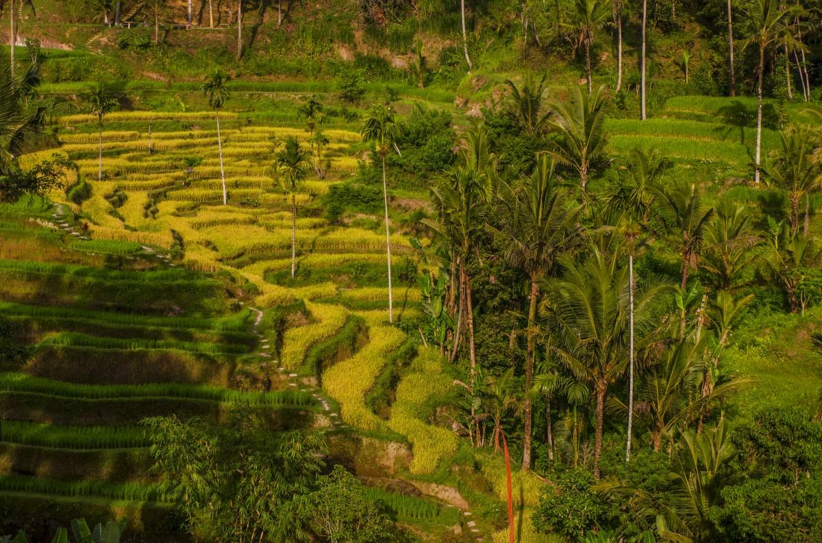 Zdjęcia: Tegalalang Rice Terrace, Bali, Tegalalang , INDONEZJA