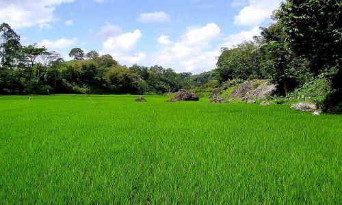 Zdjecie INDONEZJA / Sulawesi Południowe /  okolice Rantepao / pola ryżowe - Sulawesi