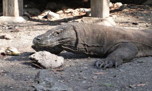Zdjęcie INDONEZJA / - / Park Narodowy Komodo / Głodny waran z Komodo