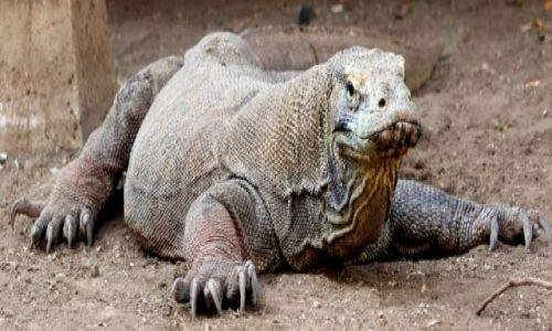 Zdjecie INDONEZJA / Komodo / Komodo / Wyglada na leniwego...