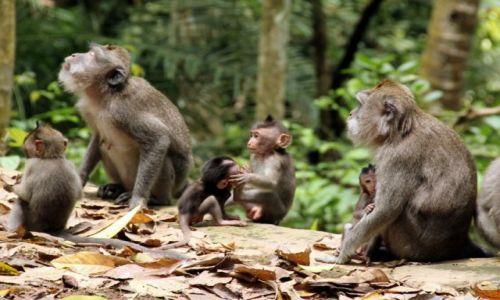 INDONEZJA / Bali / Ubud - Małpi Las / Malpia rodzina