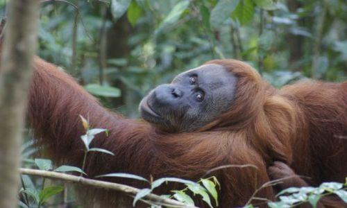 Zdjecie INDONEZJA / Sumatra / Bukit Lawang / Zaszczyciła mnie spojrzeniem