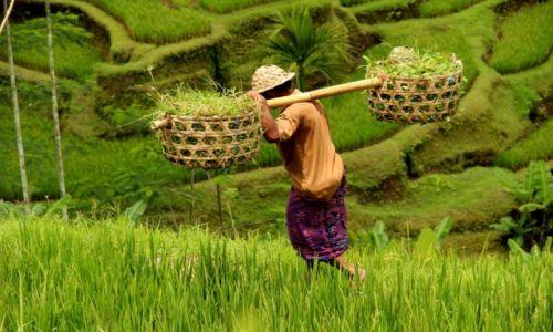 Zdjecie INDONEZJA / Bali / Bali / Rolnik