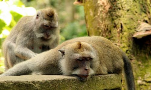 Zdjecie INDONEZJA / Bali / Ubud / zblazowana małpa...