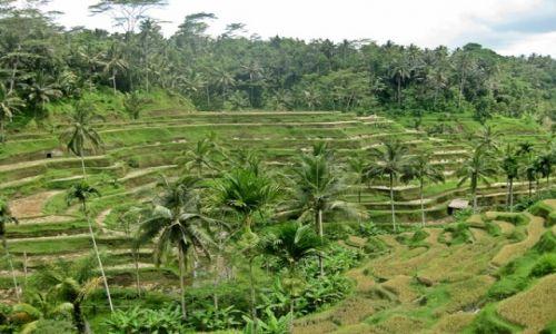 Zdjęcie INDONEZJA / Bali / Ubud / tarasy ryżowe