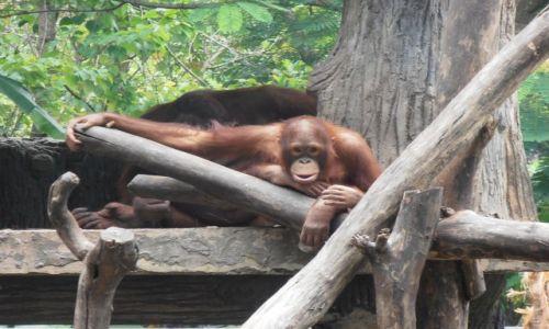 Zdjecie INDONEZJA / yogyakarta / zoo / maly oragutanek