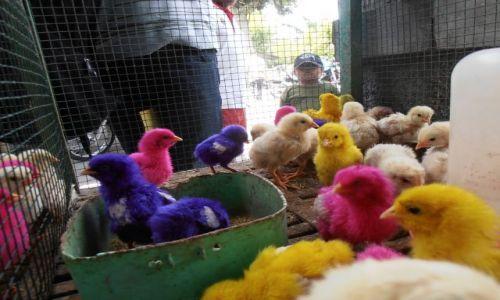 Zdjecie INDONEZJA / yogyakarta / ptasi targ / kolorowe kurczaczki