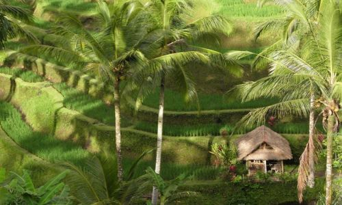 Zdjecie INDONEZJA / Bali / okolice Tagalalang / Tarasy ryżowe 1