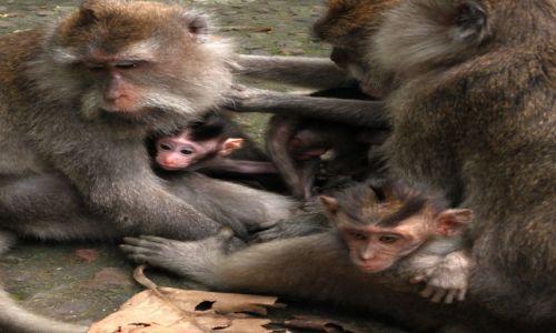 Zdjecie INDONEZJA / Bali / Ubud, Monkey Forrest / Małpy z Ubud 2