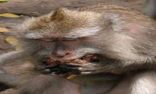 Zdjecie INDONEZJA / Bali / Ubud, Monkey Forrest / Małpy z Ubud 4