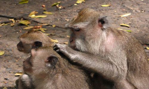 Zdjecie INDONEZJA / Bali / Ubud, Monkey Forrest / Małpy z Ubud 5