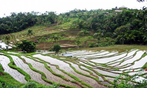 Zdjecie INDONEZJA / Bali /   / Pola ryżowe
