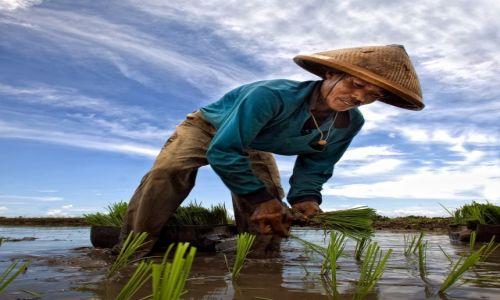 INDONEZJA / Bali   / poludniowy zachod wyspy / sadzenie ryzu