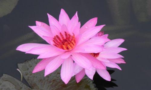 Zdjęcie INDONEZJA / malang / ,,, / lotos