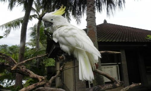 Zdjecie INDONEZJA / Bali / .. / kakadu