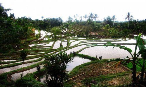 Zdjęcie INDONEZJA / Bali /    / Tarasy ryżowe