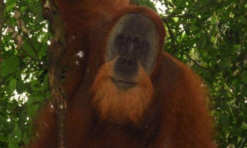 INDONEZJA / Sumatra / - / Orangutan, za chwilę przestał być taki miły ...