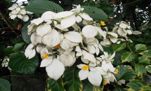 Zdjęcie INDONEZJA / malang / .. / kwiaty