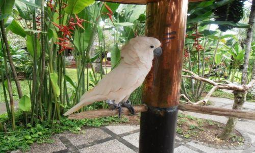 Zdjęcie INDONEZJA / bali / .. / papuga