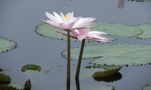 Zdjęcie INDONEZJA / malang / .. / lotos