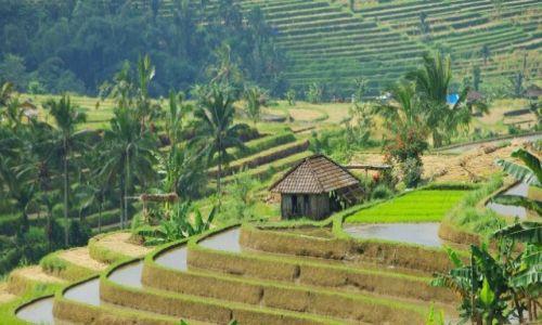INDONEZJA / Bali / Bali / Indonezja-tarasy ryżowe.