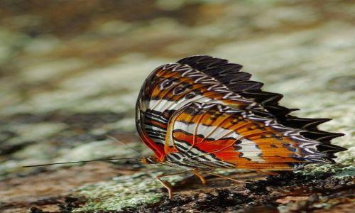 Zdjecie INDONEZJA / Bali / Bali / Indonezyjskie motyle 2