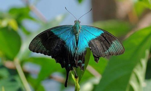 Zdjecie INDONEZJA / Bali / Bali / Indonezyjskie motyle