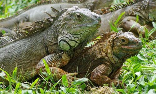 INDONEZJA / Bali / Park Ptaków i Gadów / Iguany