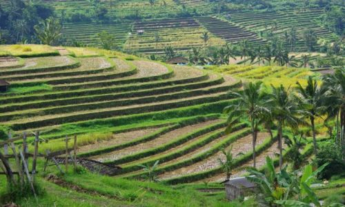 Zdjęcie INDONEZJA / Bali / Jatiluwih / Tarasy ryżowe Jatiluwih(Bali)