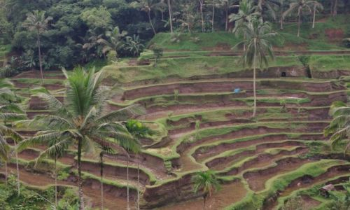 Zdjecie INDONEZJA / Bali / Tegalalang / Tegalalang-tarasy ryżowe
