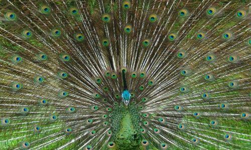 Zdjęcie INDONEZJA / Bali / Park Ptaków i Gadów / Paw w całej krasie.