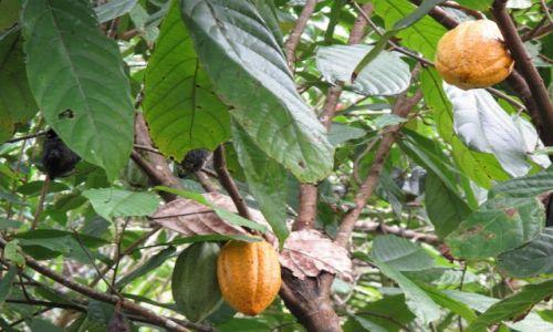 Zdjęcie INDONEZJA / Celebes / Celebes / Dojrzałe cacao