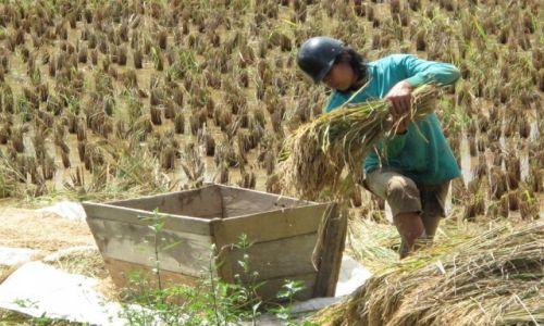 Zdjęcie INDONEZJA / Celebes / Celebes / Omłty ryżu