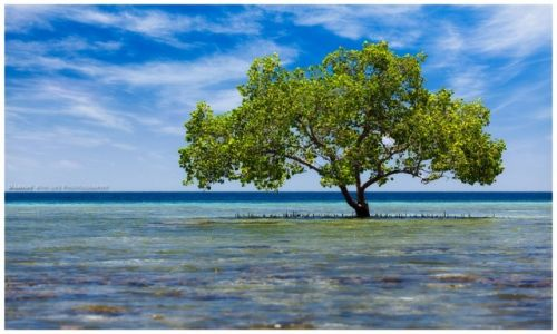 Zdjecie INDONEZJA / Bali / Taman / Lonley Mangorve Tree