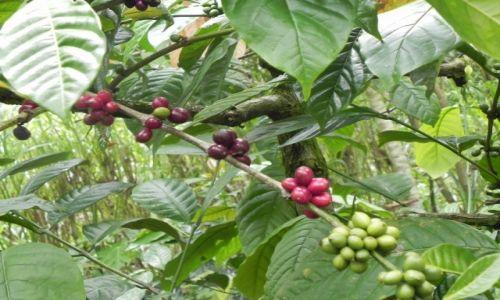 Zdjecie INDONEZJA / Bali / ... / kawa