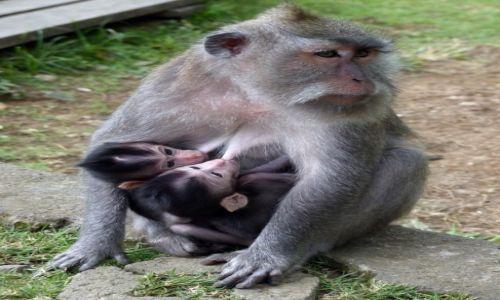 Zdjecie INDONEZJA / UBUD / w drodze do UBUD / trzy małpki