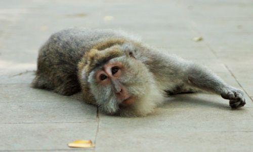 Zdjecie INDONEZJA / bali / ubud / monkey forest