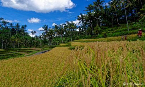 Zdjęcie INDONEZJA / Bali / okolice Ubud / Tarasy ryżowe