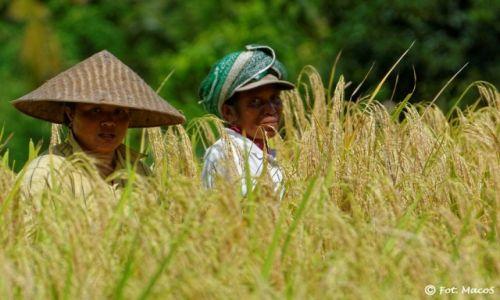 Zdjęcie INDONEZJA / Bali / okolice Ubud / Pole ryżowe