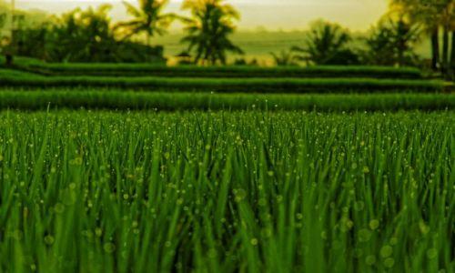 Zdjecie INDONEZJA / Bali / Ubud / Wczesnym rankie