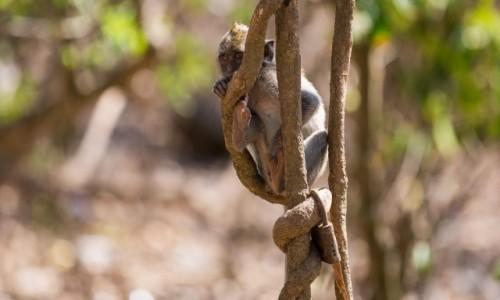 Zdjecie INDONEZJA / Bali / hm dobre pytanie / Zamknięta małpa