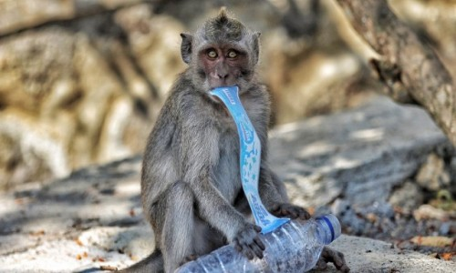 Zdjecie INDONEZJA / Bali / Okolice Tanah Lot / Cywilizowana małpa