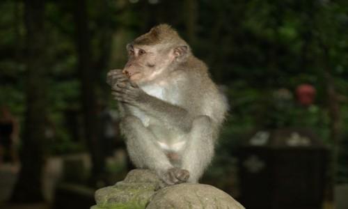 Zdjecie INDONEZJA / Bali / Park małp w Ubud / Portrecik