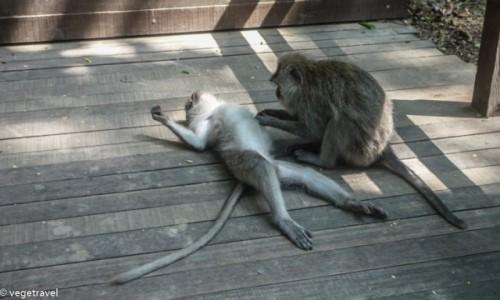 Zdjecie INDONEZJA / Bali / Ubud - Monkey Forest / Ma�pi relaks