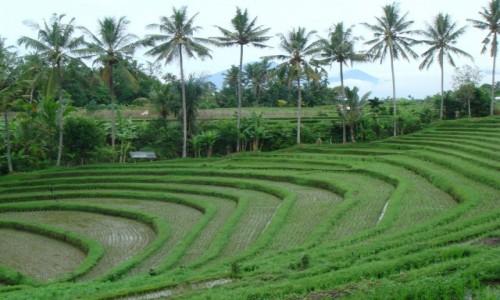Zdjęcie INDONEZJA / Bali / Bali / Pola ryżowe