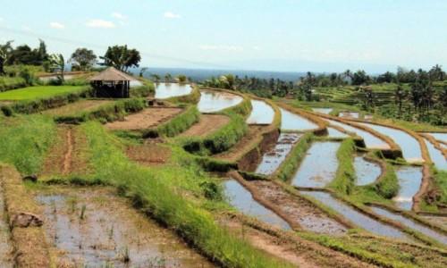 Zdjęcie INDONEZJA / Bali / Tarasy ryżowe / Ryżyk