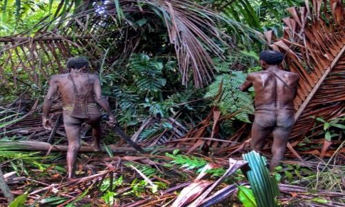 Zdjęcie INDONEZJA / Papua Zachodnia / las deszczowy, dwa dni drogi od wioski Mabul / Korowajowie - będą ścinać palmę sagową