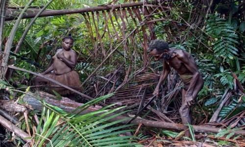 INDONEZJA / Papua Zachodnia / las deszczowy, dwa dni drogi od wioski Mabul / Korowajowie - palma ścięta, może pod liśmi są jakieś smaczne larwy